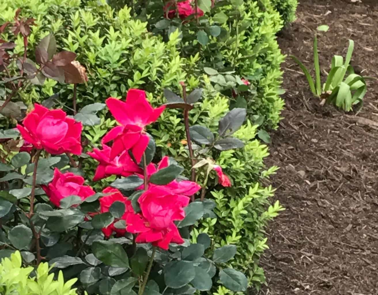 trees and shrubs - fertilization Canopy Lawn Care