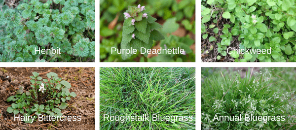 Canopy Lawn Care Common Weed Varieties in North Carolina Raleigh Charlotte, NC