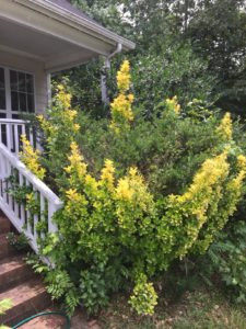 Pruning Ornamental Trees and Shrubs Canopy Raleigh, NC Lawn Care
