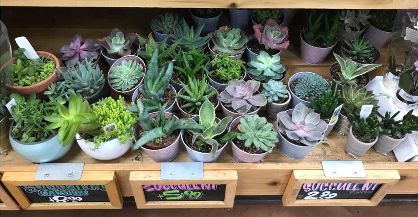 Succulent plant gift