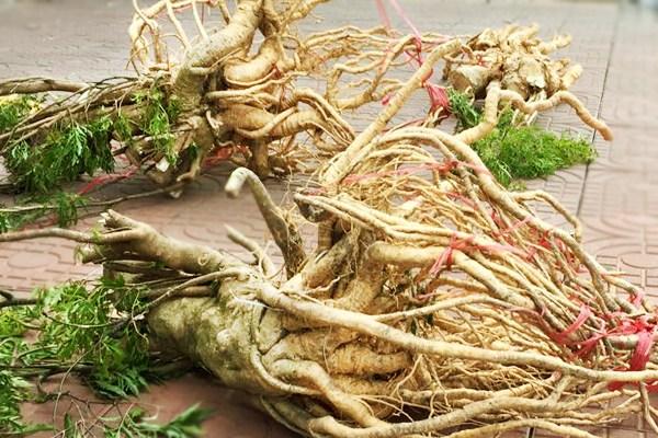 Chữa yếu sinh lý bằng rễ cây đinh lăng