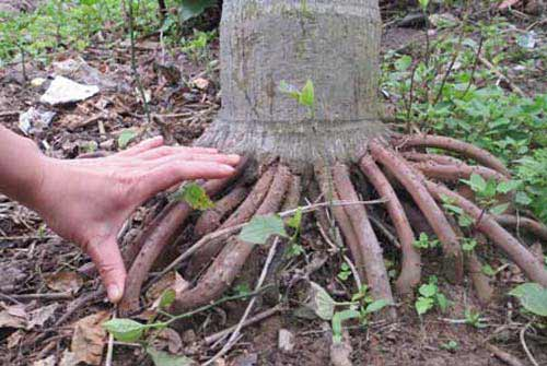Chữa yếu sinh lý bằng rễ cau