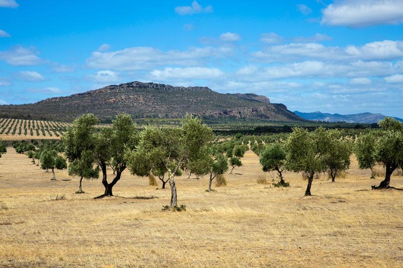 olive trees in australia