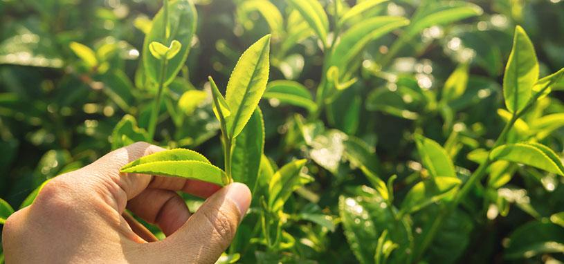 High quality organic tea