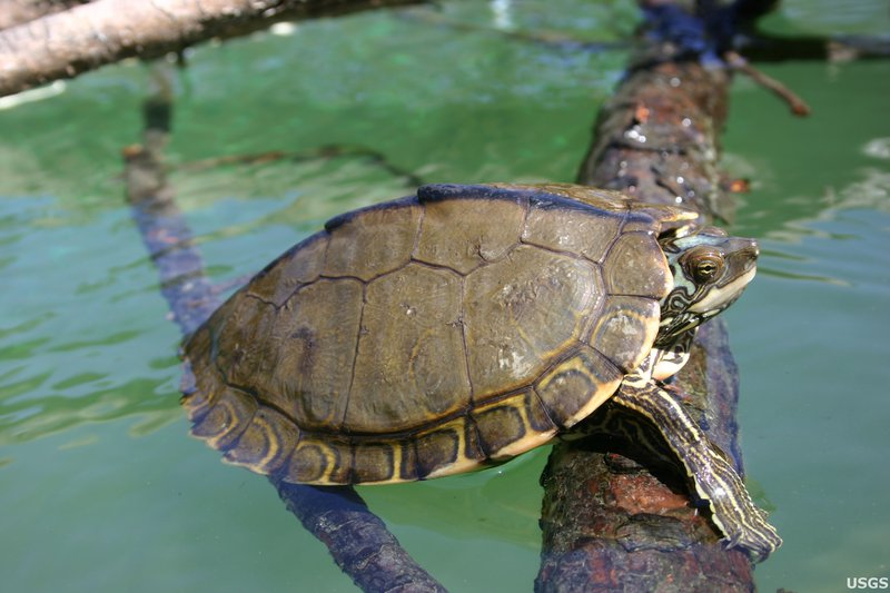 Pearl_River_Map_Turtle_Graptemys_Pearlensis_by_Cris_Hagen_University_of_Georgia,_Savannah_River_Ecolog_Laboratory_USGS_PUBLIC_DOMAIN_FPWC.jpg