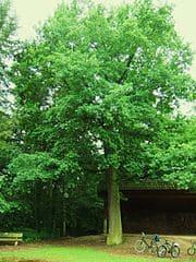 Maintal-Eiche-Alte-Friedhof