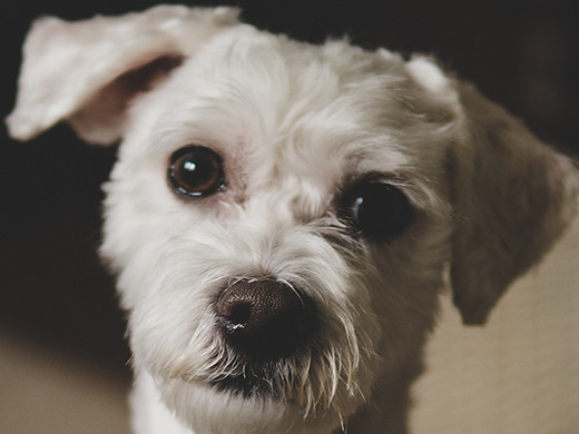 A small white dog with brown eyes