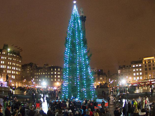 The towering Trafalgar Square tree