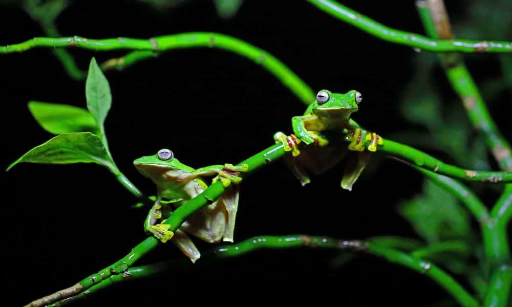 gliding frog