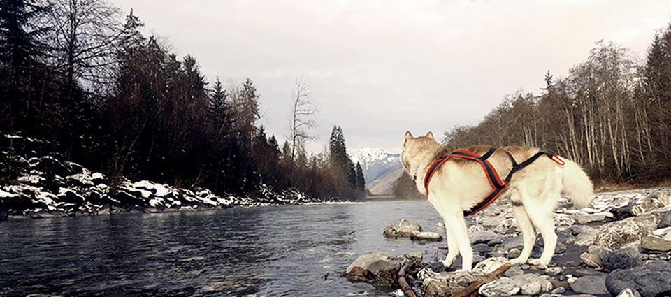 Siberian Husky standing on the bank of a hill area river