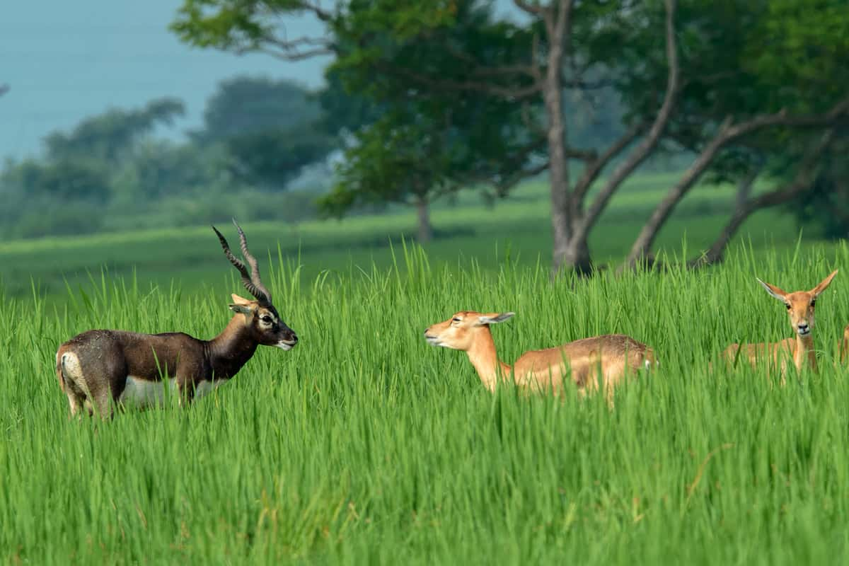 Blackbuck male & sub adult female