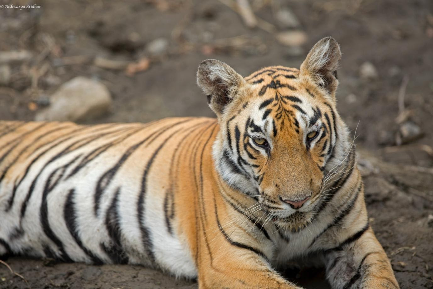 A tiger lying on the groundDescription automatically generated
