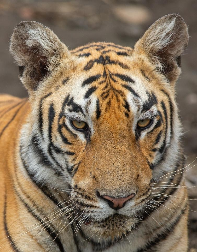 A tiger looking at the cameraDescription automatically generated with medium confidence