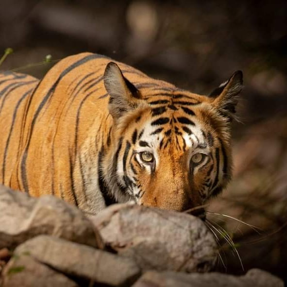 Bor Tiger Reserve Safari