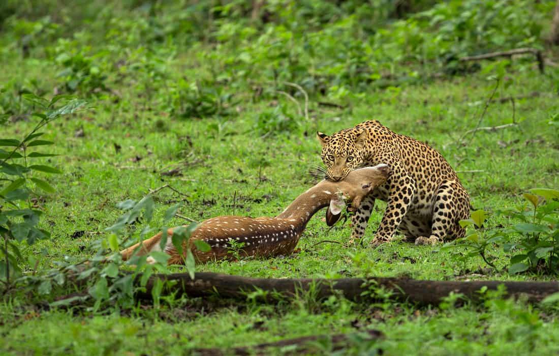 Photo Story - The Prey and Predator of Kabini