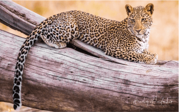Mumbai : City of Dreams and Leopards