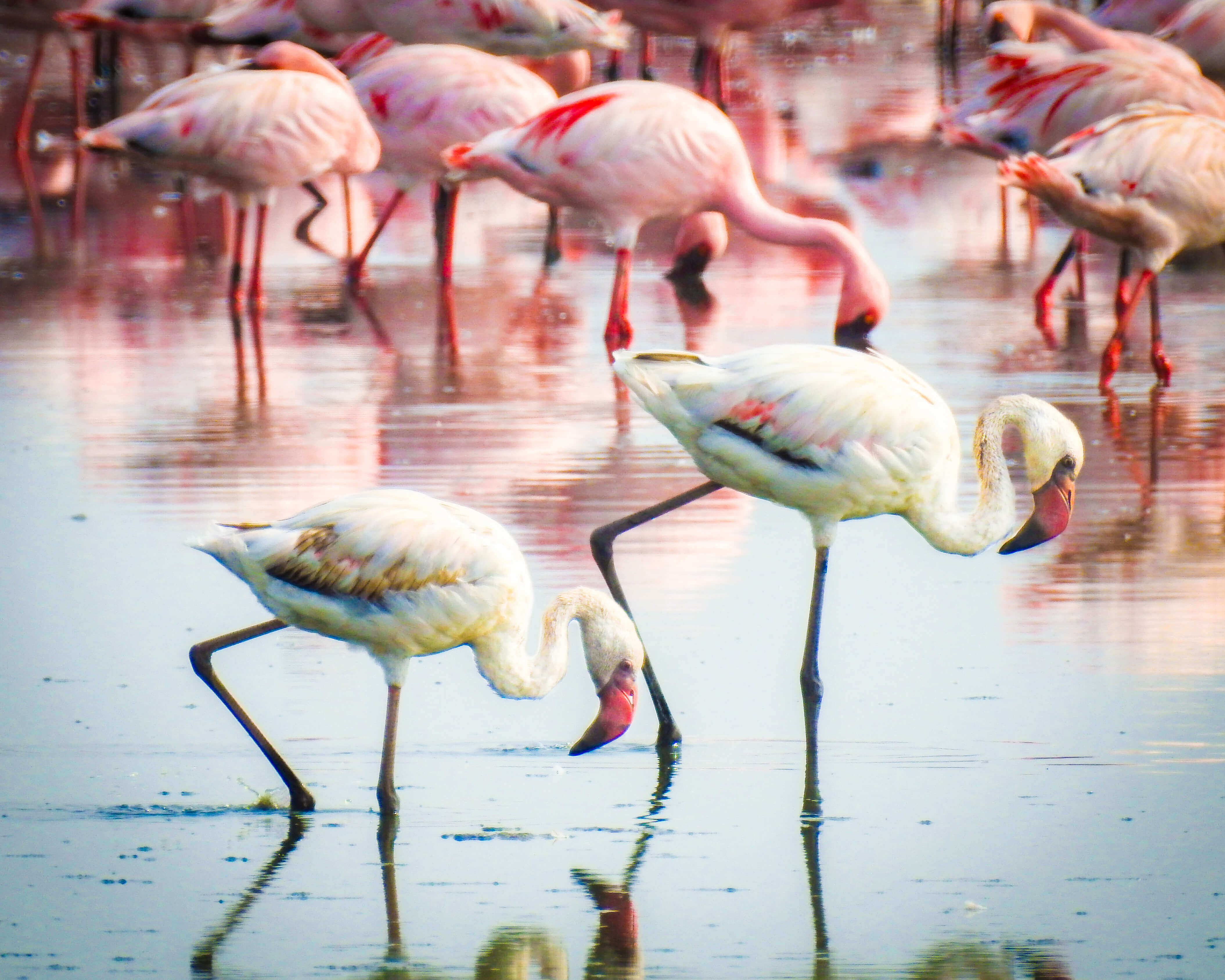 Flamingos Painting the City Red