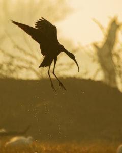 bird nature habitat water ibis