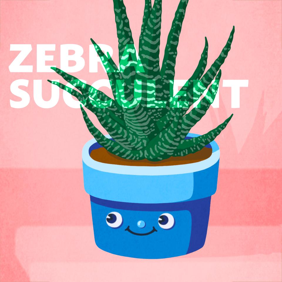 Zebra Succulent office plant