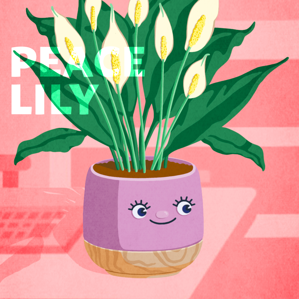 The Peace Lily plant for the office
