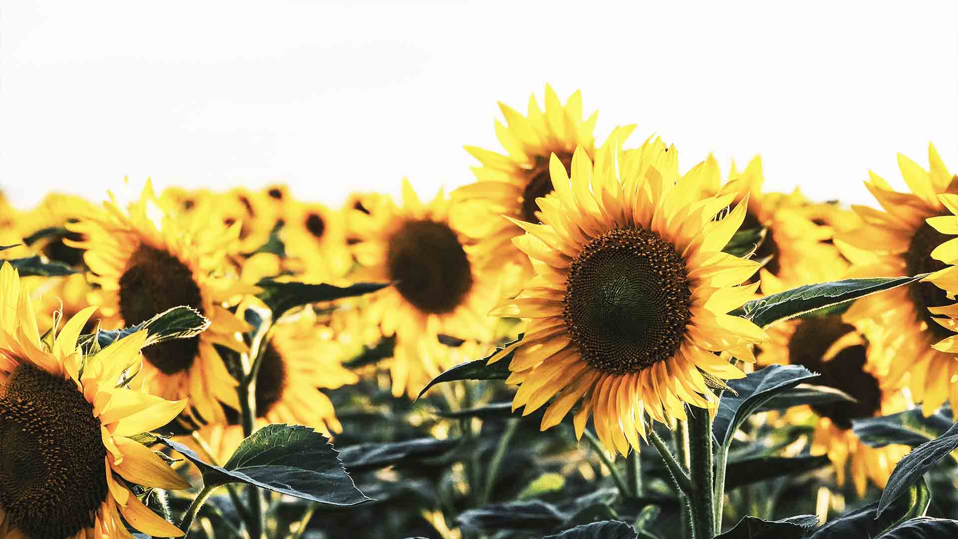 Huile de tournesol bienfaits fleur tournesol bio utilisation Roma Kaiuk