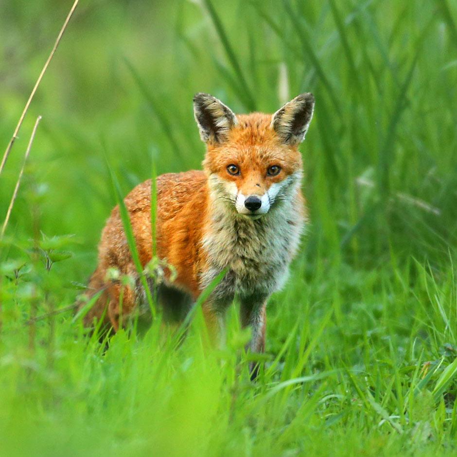 A fox in long grass