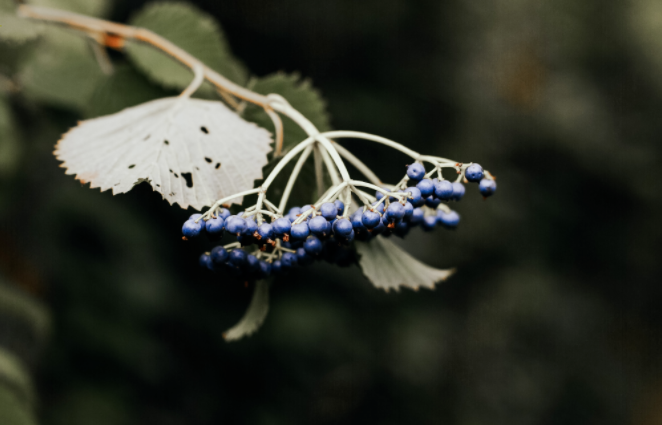 Elderberry and Hashimoto'sDisease