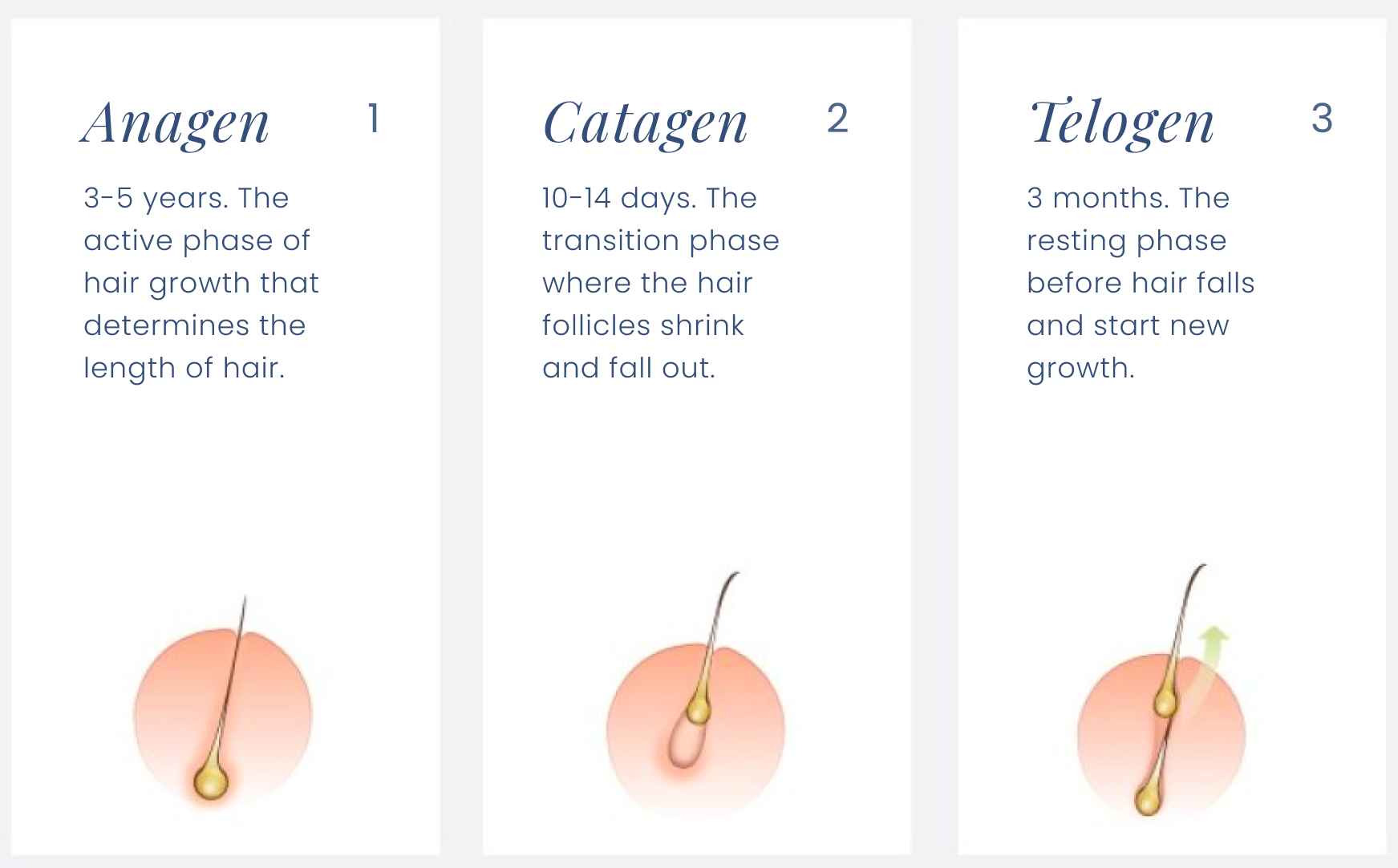 Three phases of the hair growth cycle to better understand hair loss with hypothyroidism