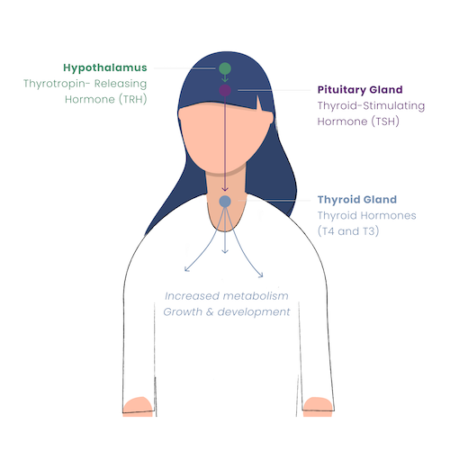 Overview of the hypothalamic-pituitary-thyroid axis or thyroid homeostasis