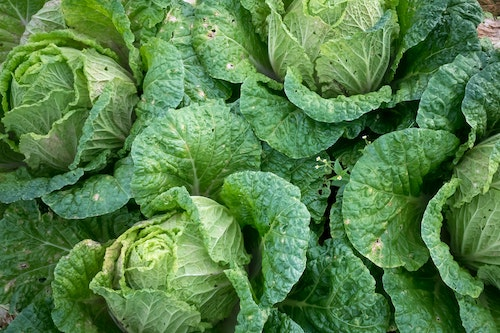 Green cabbage in a pile next to text about cabbage and thyroid health