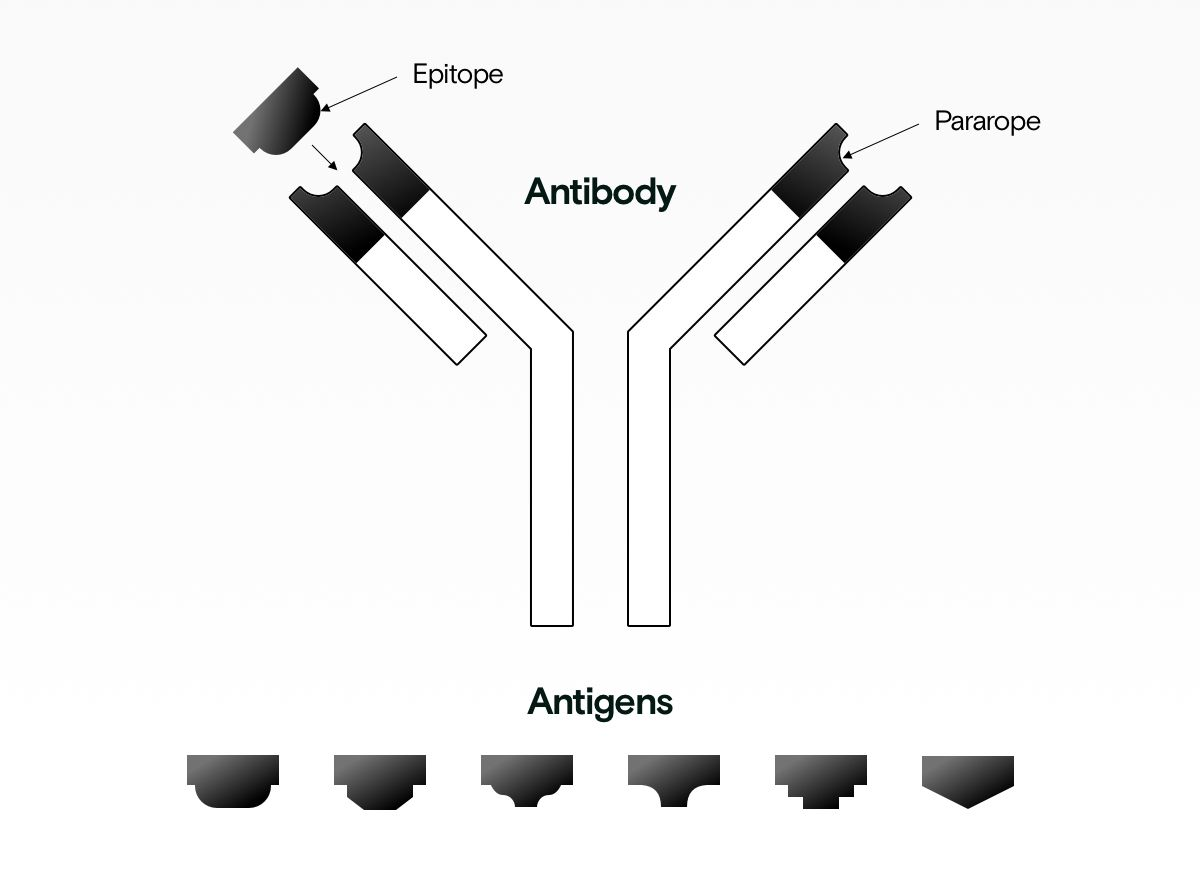 Antibody with epitope and paratope
