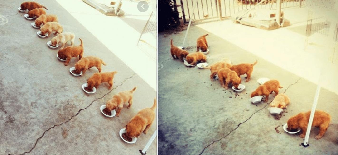 Hundewelpen in einer ordentlichen Reihe, die Futter aus verschiedenen Schüsseln fressen - und dann entsteht Chaos.