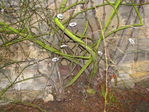 raices del rosal de Hildesheim
