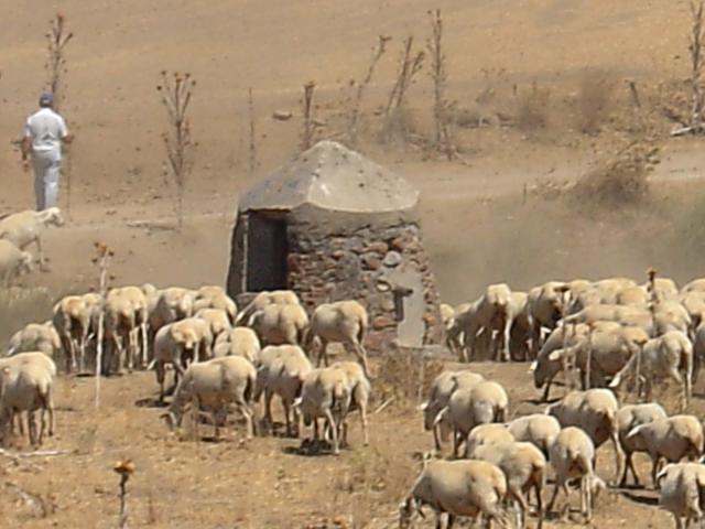 pastor y rebano de ovejas