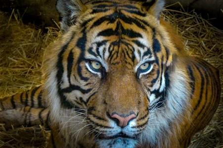 Tiger at the Edinburgh Zoo