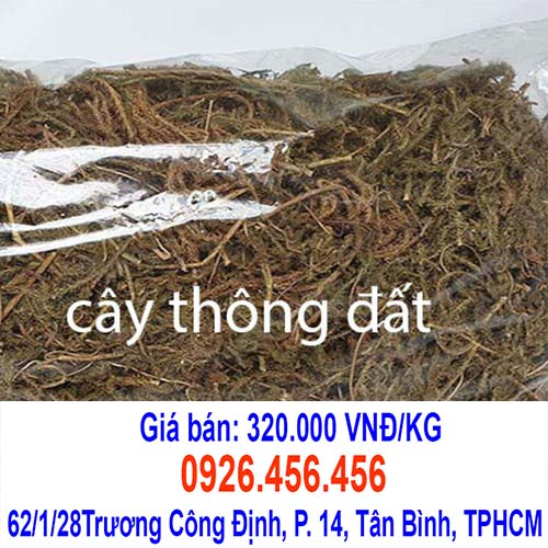 cay thong dat