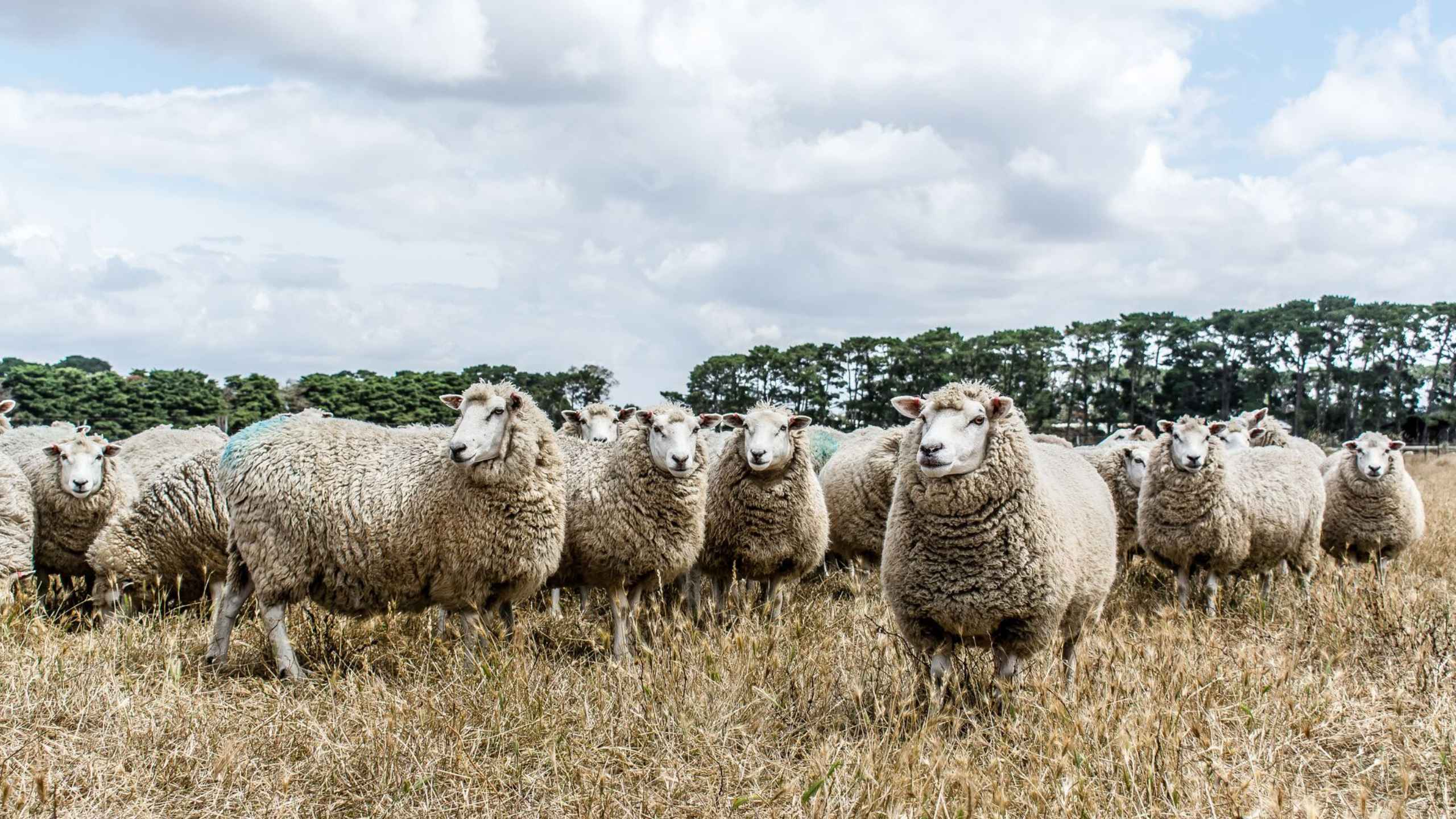 Probreed sheep that are guaranteed to deliver genetic gain