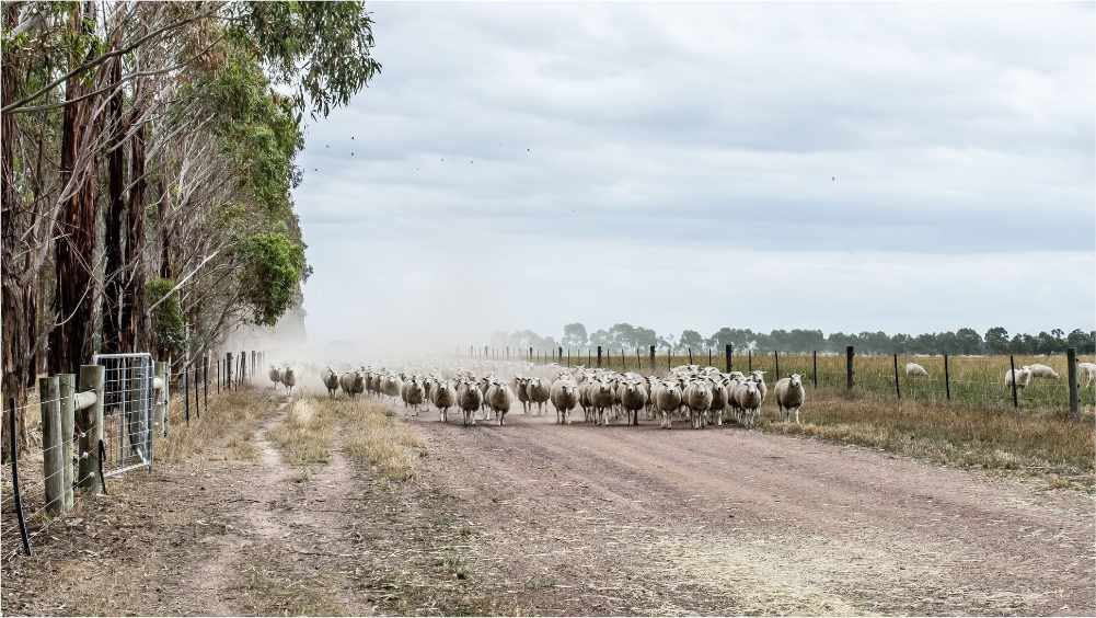 Probreed sheep walking down our farms road