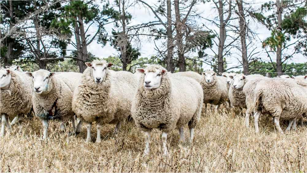 Find out more about our Probreed sheep
