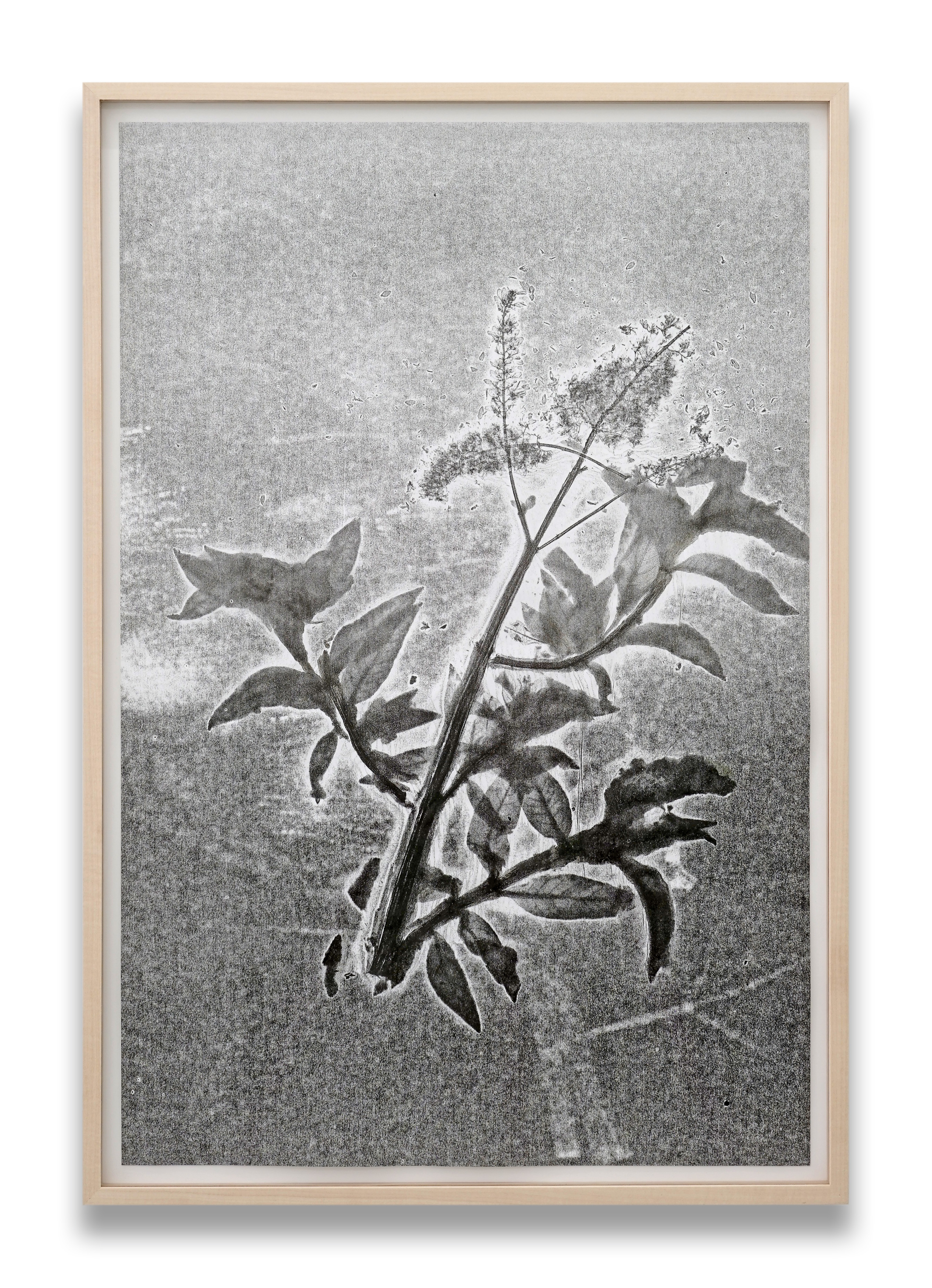 Herbarium Turicum (Buddleja davidii)