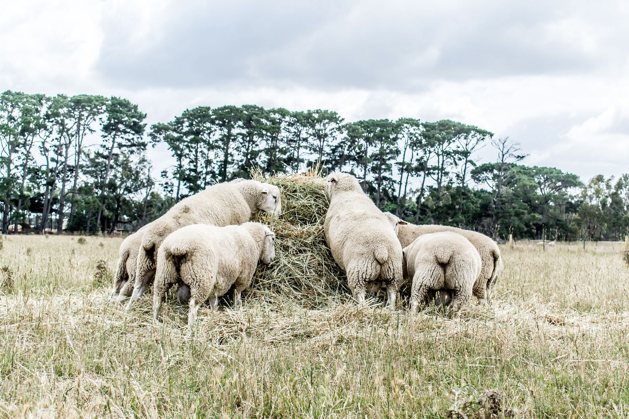 High performance sheep grazing on a mound of fodder
