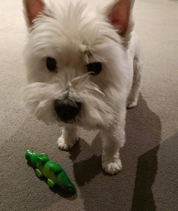 Dog with crocodile toy at home
