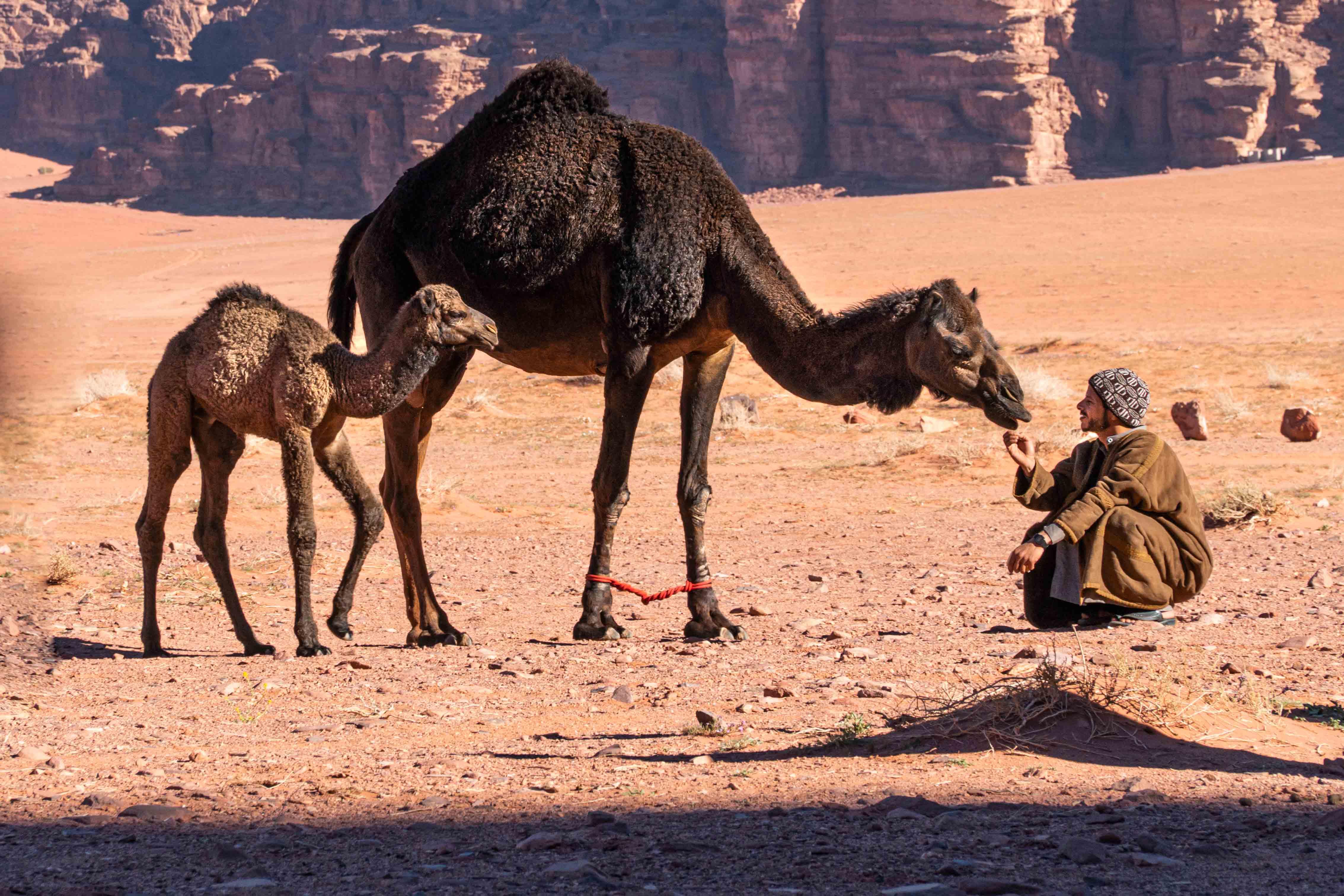 Una persona seduta che fa il solletico al mento di uno dei suoi due cammelli