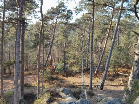 A forest in Fontainebleau