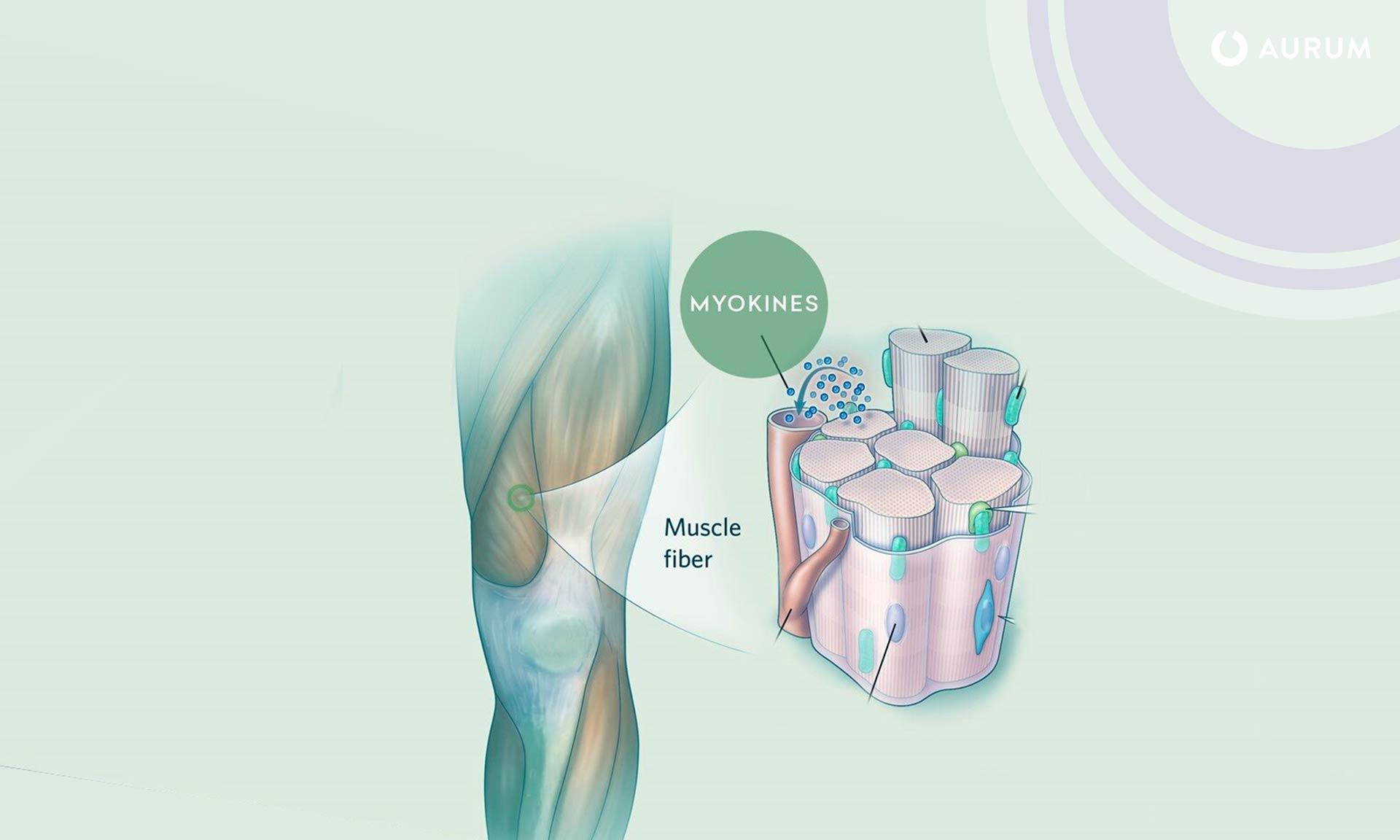 Myokines, or the dark matter of High Intensity Strength Training