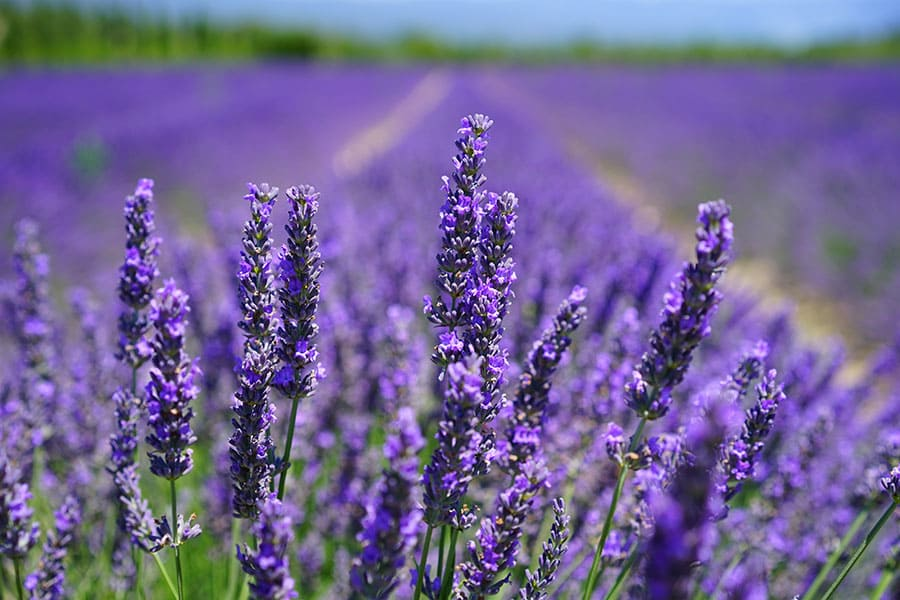 smell of lavender helps people feel relaxed