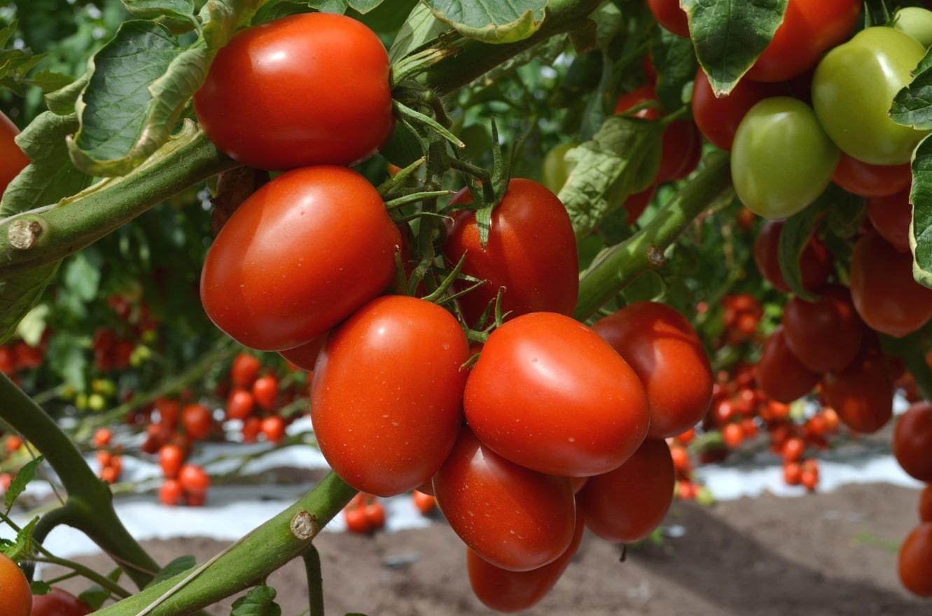 F1 tohumdan üretilen aynı tip ve türdeki domatesler.