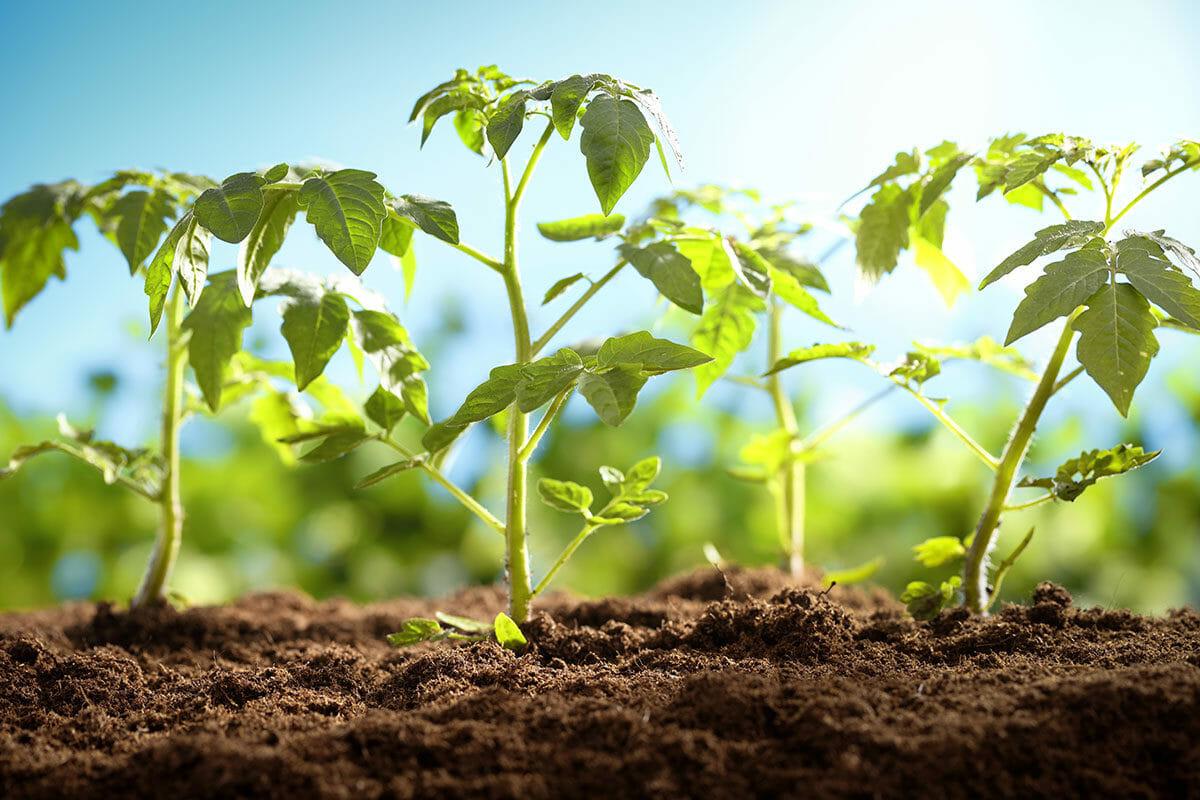Gübreli toprakta yetişen domates fideleri