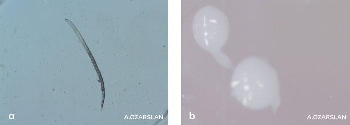 kök-ur nematodunun larvası