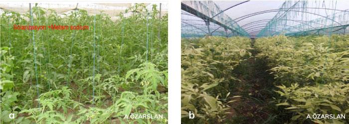 domates bitkisinde kök-ur nematodları